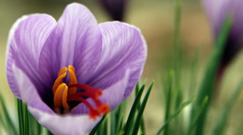 saffraan-bloem